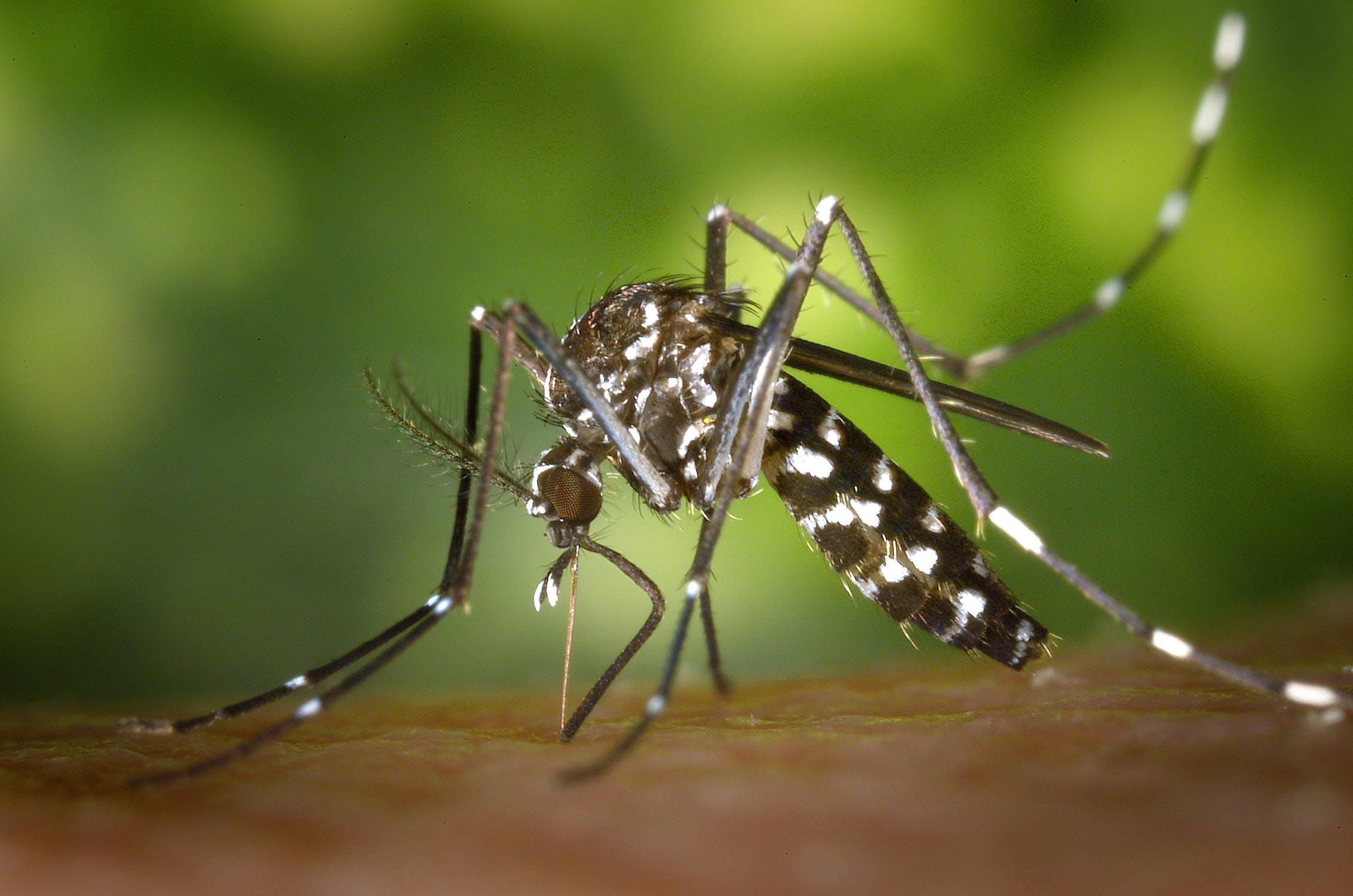Mosquitos can transfer West Nile Virus to humans. Pexels